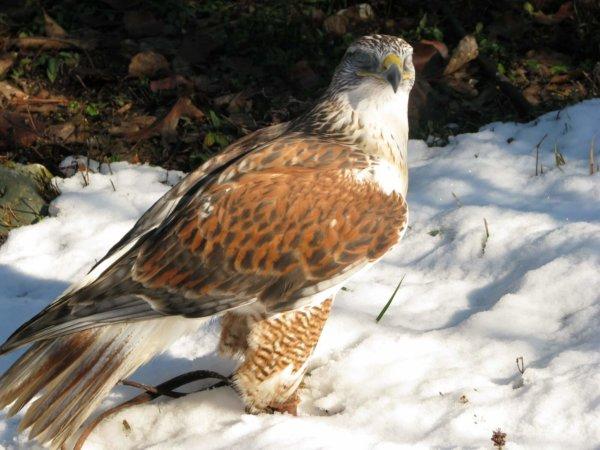 Ferruginous Hawk--Sage